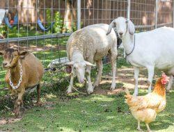 Bertani dan Beternak, Upaya Penyelamatan Ekonomi di Tengah Pandemi