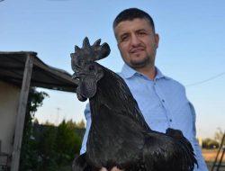 Ayam Cemani, Si Hitam Legam Asli Indonesia yang Mendunia