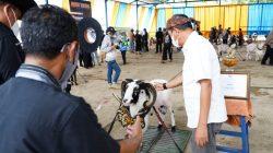Ekspedisi Kontes Ternak Domba Garut di Kabupaten Garut, Jawa Barat.