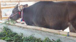 Lamtoro, solusi penyediaan pakan ternak di lahan kering dan cocok untuk penggemukan sapi