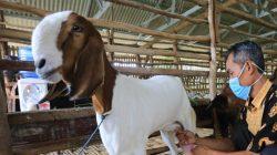 Peternak memerah susu kambing etawa di kandang milik koperasi pesantren (Foto: Antara)