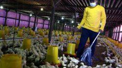 Bebas Bau, Kelompok Bakti Tani Gunakan Kandang Tertutup untuk Bisnis Ayam Broiler