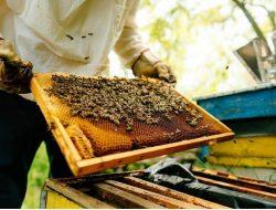 Peternakan 'Hotel' Lebah di Kroasia Ajarkan Proses Produksi Madu
