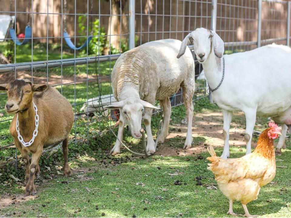 Memanfaatkan Pekarangan Rumah untuk Beternak. (Foto: Kendari Pos)