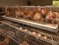 Cara Budidaya Ayam Petelur dengan Prospek Menjanjikan