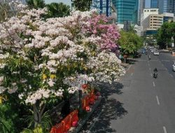 Mulai Bermekaran, Warna-warni Bunga Tabebuya Percantik Jalan Protokol di Surabaya